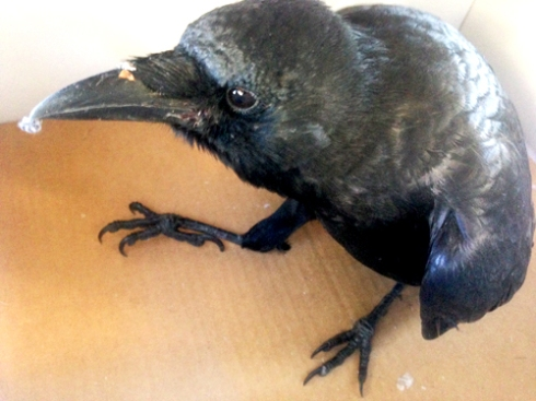 Edgar the Crow