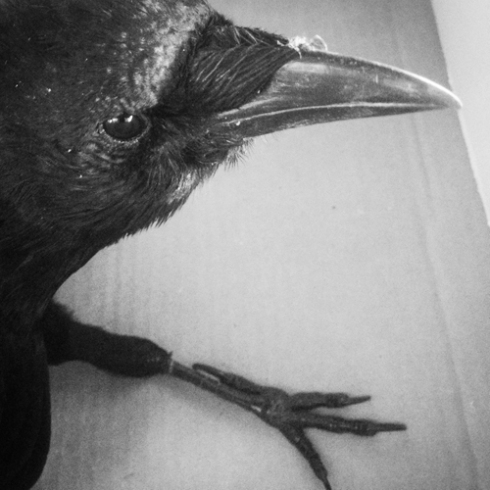 Edgar the Crow